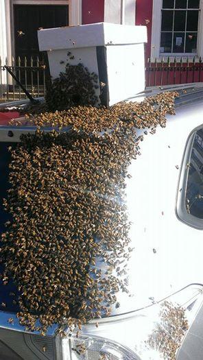 « L'essaim d'environ 20 000 abeilles l'avait suivie et se tenait sur le coffre de la voiture. »